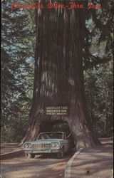 Chandelier Drive-Thru Tree, Underwood Park, Giant Sequoia