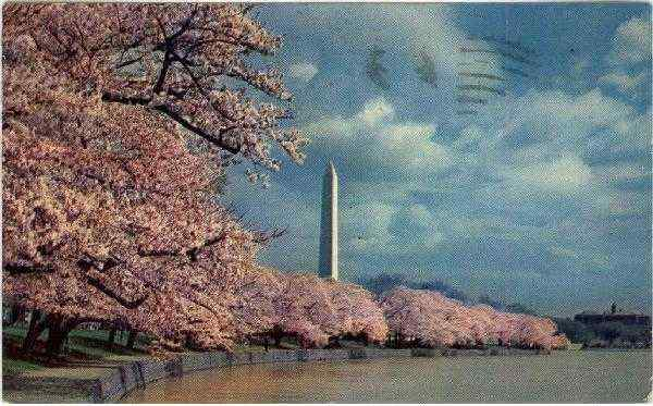 Washington Monument and Cherry Blossoms District of Columbia