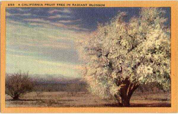 A California Fruit Tree in Radiant Blossom