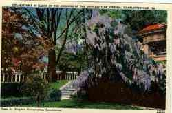 Wistaria in Bloom on Grounds of University of Virginia Postcard