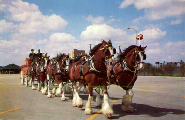 Budweiser Clydesdale 8 Horse Team Horses Breweriana