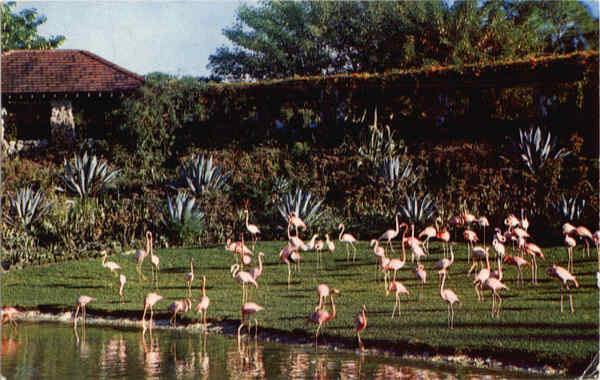 Flamingos and reflections at Florida's famous Parrot Jungle