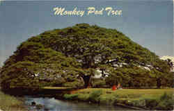 Hawaiian Monkey Pod Tree