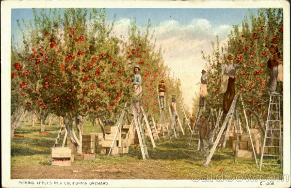 Picking Apples Orchard California