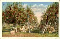 Picking Apples in a California Orchard