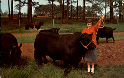 The world famous breed of Black Angus