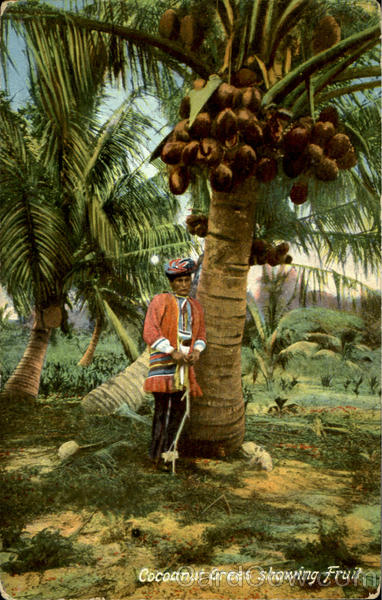Cocoanut Trees Showing Fruit