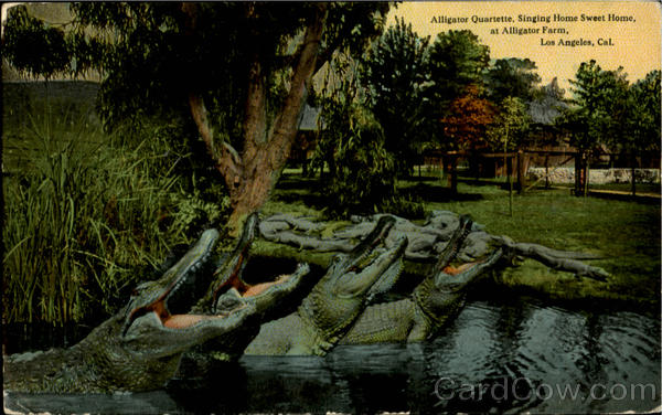 Alligator Quartette Singing Home Sweet Home At Alligator Farm Los Angles California