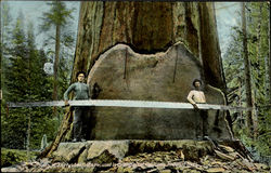 A Thirty Two Foot Saw Used In Cutting Giant California Redwood Trees