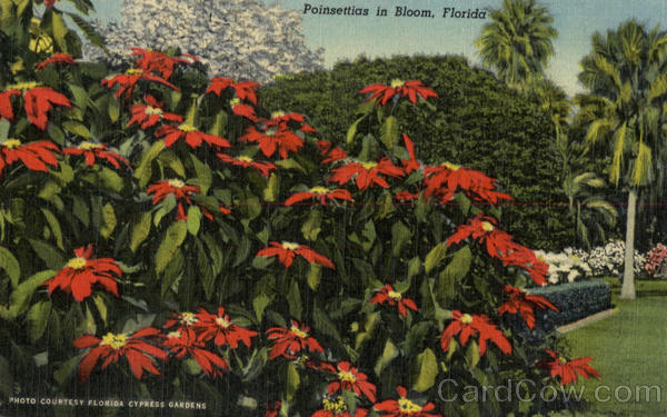 Poinsettias in Bloom Flowers