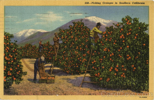 Picking Oranges in Southern California Scenic