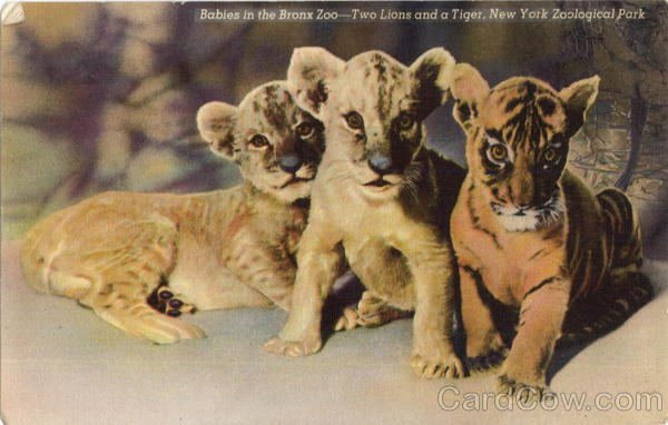 Babies in the Bronx Zoo-Two Lions and a Tiger, New York Zoological Park New York City
