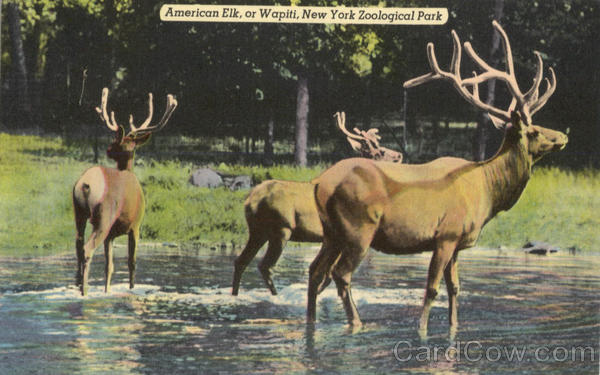 American Elk, or Wapiti, New York Zoological Park New York City