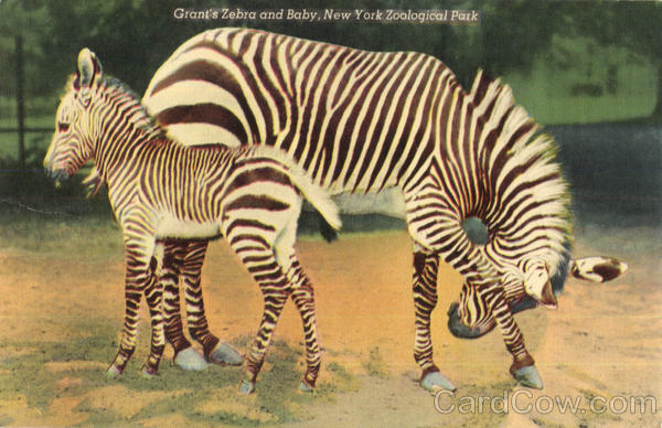 Grant's Zebra and Baby, New York Zoological Park New York City