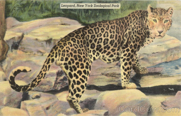 Leopard, New York Zoological Park
