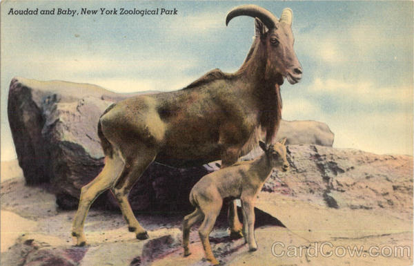 Aoudad and Baby, New York Zoological Park
