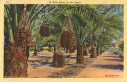 A Date Grove on the Desert