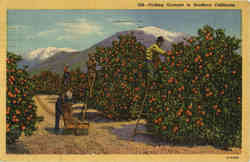 Picking Oranges in Southern California