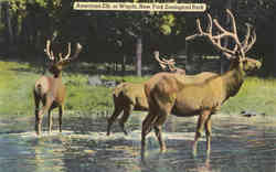 American Elk, or Wapiti, New York Zoological Park