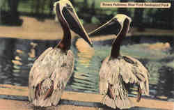 Brown Pelicans, New York Zoological Park