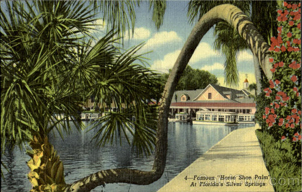 Famous House Shoe Palm  At Florida's Silver Springs