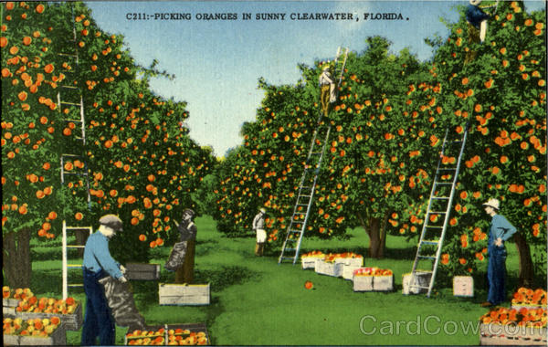 Picking Oranges Sunny Clearwater Florida