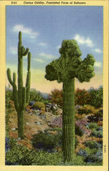 """Watermelon Tree"" ,Freak Sahuaro ,Giant Cactus"