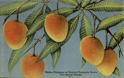 Haden Mangoes on Tropical Treasures Grove