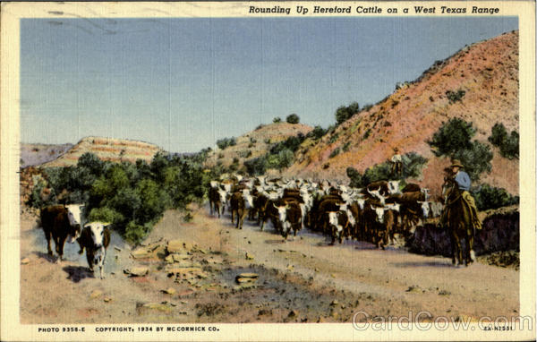 Rounding Up Hereford Cattle on a West texas Range Cowboy Western