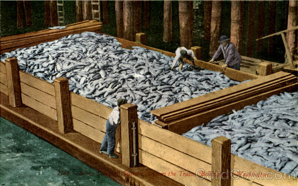 Loading Salmon from Traps Bellingham Washington