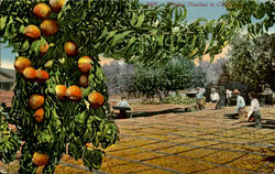 Drying Peaches In California