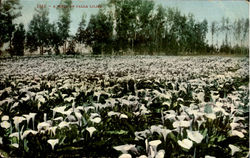 A Field Of Calla Lilies Postcard