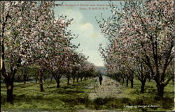 Apple Orchard In Bloom Near Grand Junction
