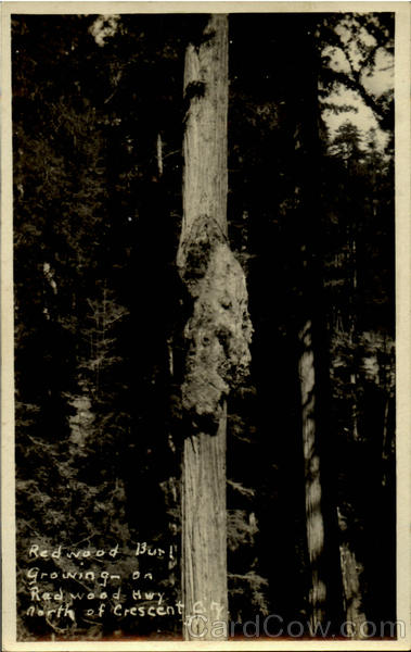 how to grow a redwood tree from a burl