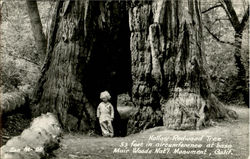 Hollow Redwood Tree, Muir Woods National Monument