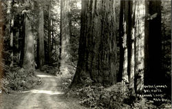 On The Famous Del Norte Redwood Loop