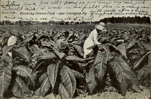 Kentucky Tobacco Field Lexington