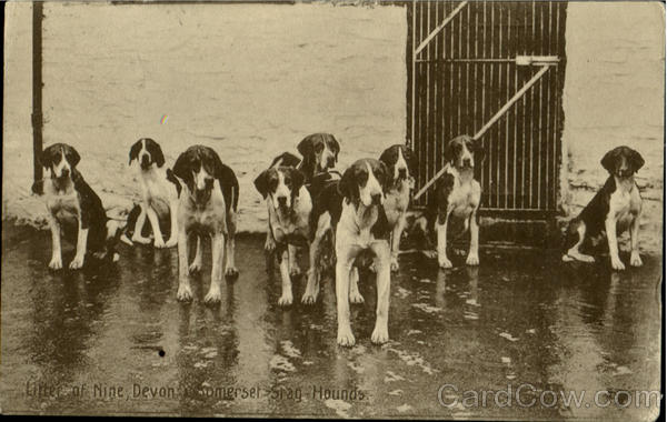 Litter of Nine,Devon & Somerset Stag Hounds England