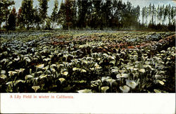 A Lily Field In Winter In California