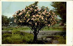 A Little Rose Bush With A Thousand Blossoms Postcard