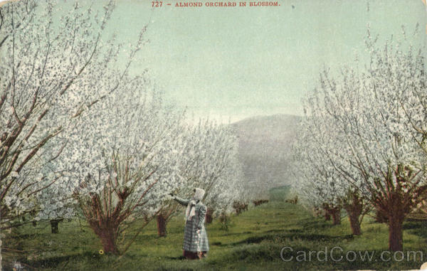 Almond Orchard Blossoms Nuts