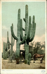 A Giant Cactus