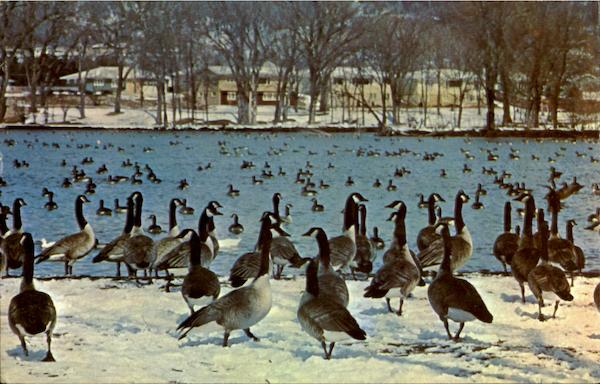Minnesota's Famous Wintering Flock Of Wild Geese Rochester