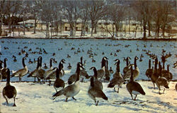 Minnesota's Famous Wintering Flock Of Wild Geese