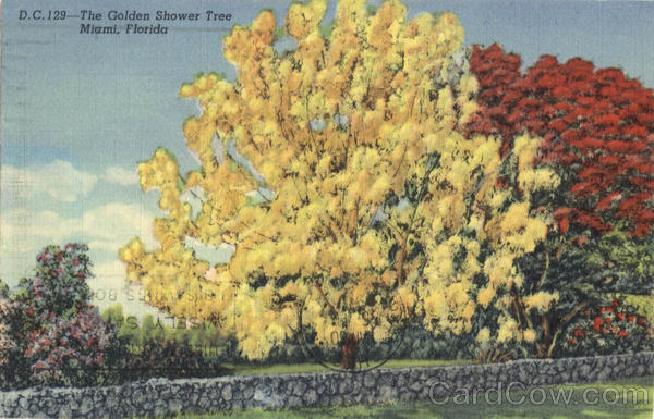 The Golden Shower Tree Miami Florida Flowers