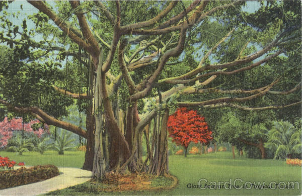 Gaint Banyan Tree in Tropical Florida Trees