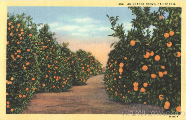 An Orange Grove Scenic California