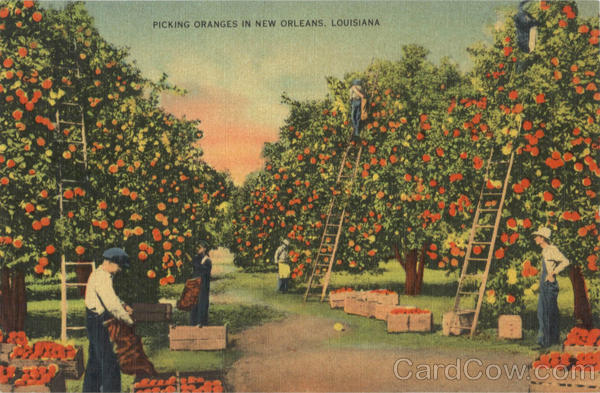 Picking Oranges in New Orleans Louisiana