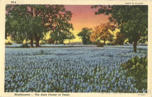 Bluebonnets-The State Flower of Texas Scenic Flowers