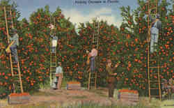 Picking Oranges in Florida